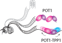 The POT1-TPP1 complex showed a rapid sliding motion on telomeric DNA (Structure 2012 Nov 7;20(11):1872-80), which may contribute to facilitating the telomerase activity